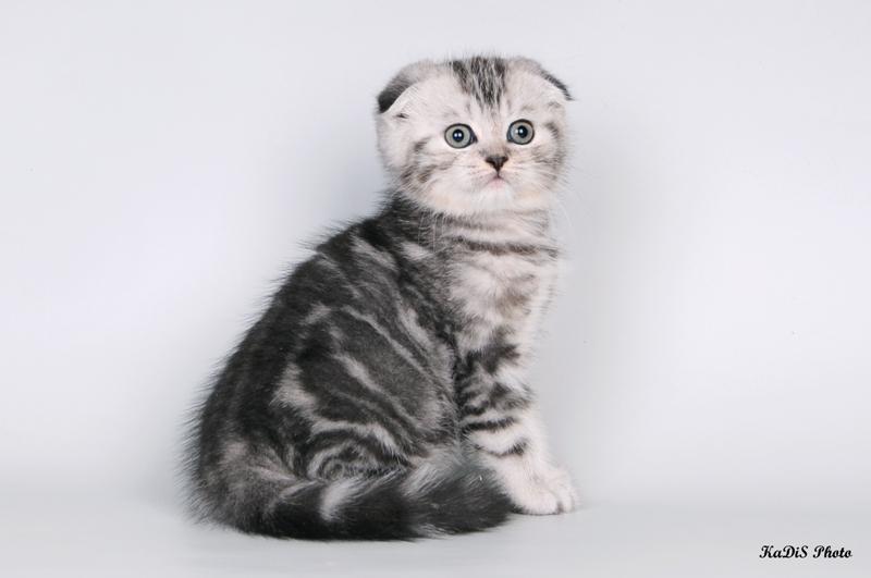 Кот шотландец 8 месяцев